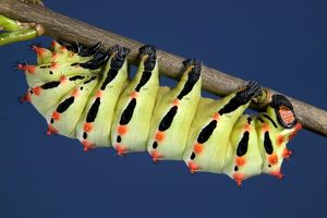 Giant Silk Moth - Caterpillar