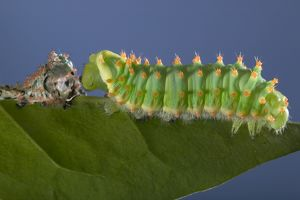 Giant Silk Moth - Caterpillar's sloughing of the