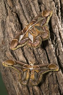Giant Silk Moth - Couple