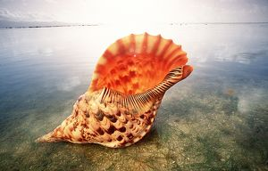 GIANT TRITON SHELL - ON BEACH