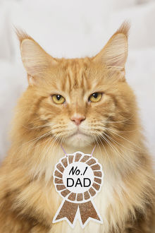 Ginger Maine Coon cat indoors, wearing no. 1 Dad