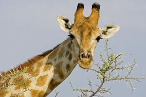 Giraffe - close up whilst feeding on acacia twigs