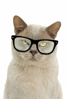 latest images march 2017/glasses created cat urmese grumpy wearing glasses