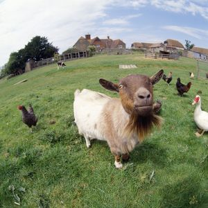 GOAT - CHICKENS & FARM