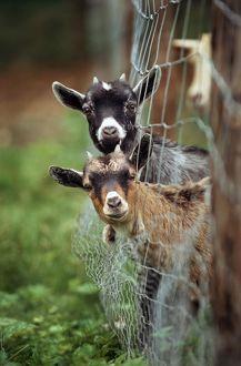 Goats - two with heads stuck though net fence