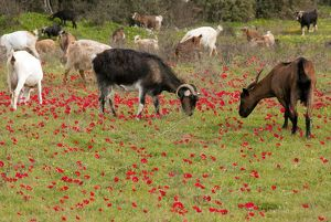 Goats - herd grazing through field of scarlet peacock anemones - in spring