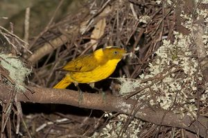Golden Bowerbird - carrying a small twig with 2