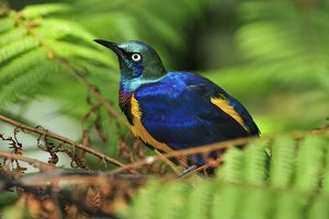 Golden-breasted Starling / Royal Starling