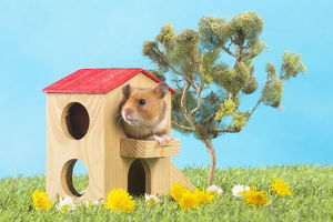 Golden Hamster playing in the garden