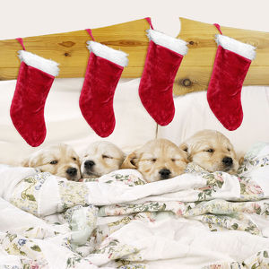 Golden Retriever Dog - 4 puppies in bed with Christmas stockings