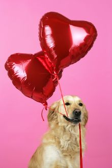 Golden Retriever Dog - holding heart shaped balloons