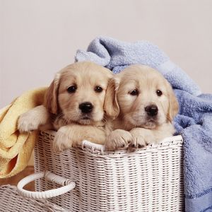 Golden Retriever DOG - two puppies in laundry basket