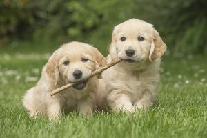 Golden Retriever dog puppies outdoors
