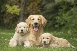 Golden Retriever dog with puppies outdoors