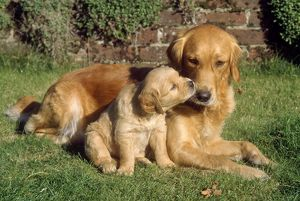 Golden Retriever Dog - with puppy