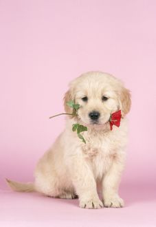 Golden Retriever DOG - Puppy holding rose in mouth