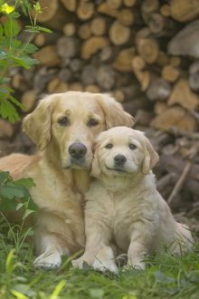 Golden Retriever dog with puppy outdoors