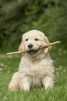 Golden Retriever dog puppy outdoors