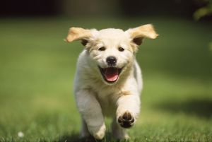 Golden Retriever Dog - puppy running towards camera