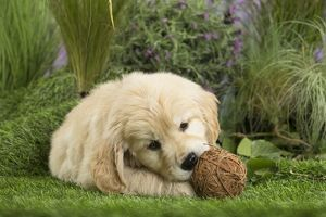 Golden Retriever Dog puppy with toy ball