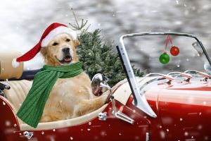Golden Retriever Dogs driving car wearing Christmas Santa hats