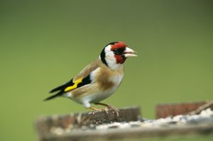 GOLDFINCH - at bird table