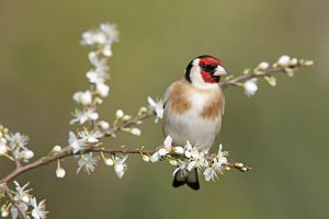 Goldfinch - spring - blossom