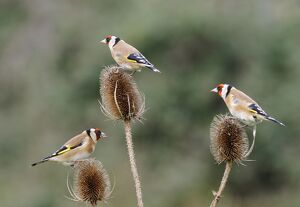 Goldfinches - 3 birds feeding on teasels