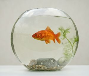 Goldfish - in goldfish bowl with weed