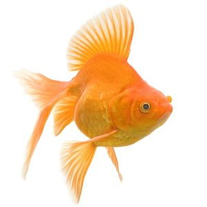 Goldfish - studio shot