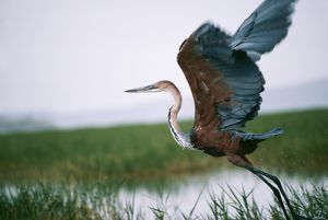 Goliath HERON - taking off