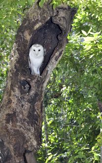 Grass Owl - in tree