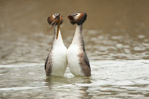 Great Crested Grebe pair performing courtship dance