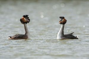 Great Crested Grebe pair performing courtship