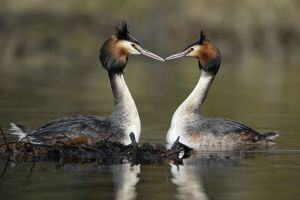Great Crested Grebes - Pair beside weed platform, courtship displaying