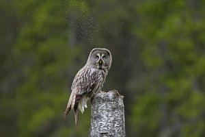 Great Grey Owl adult