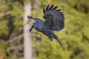 Great Grey Owl adult in flight with prey