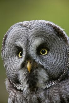 Great Grey Owl adult portrait