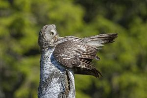 Great Grey Owl female with young at nest in