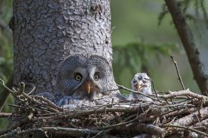 Great Grey Owl female with young at nest