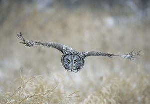 Great Grey OWL - in flight