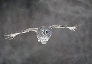 Great Grey Owl - flight