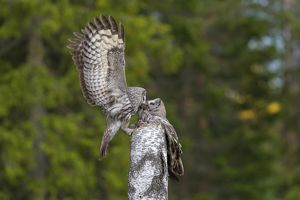 Great Grey Owl male giving food to the female