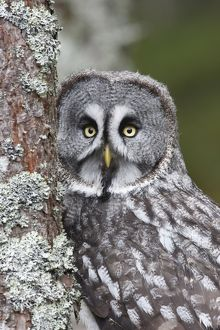 Great Grey Owl - by tree