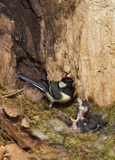 Great Tit - feeding young in hollow tree