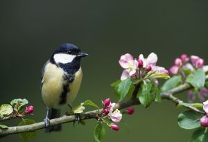 Great Tit - sits on branch