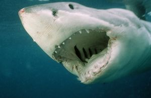 Great White SHARK - close-up of head, mouth open