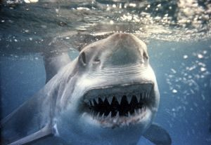 Great White / White / White Pointer SHARK - underwater