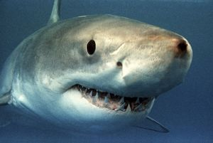 Great White / White / White Pointer SHARK - close-up of head showing teeth