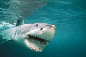 Great White / White / White Pointer SHARK - front-view, mouth open, injury on nose
